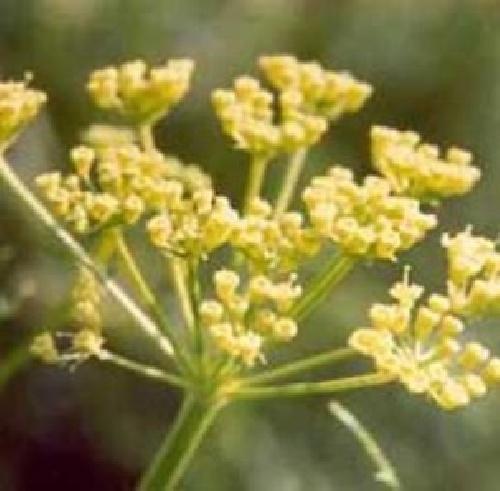 گیاه آنغوزه  Ferula assa (پاورپوینت 20 ص)